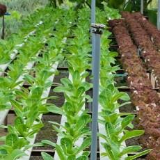 Leaf lettuce plantation in hydroponics system