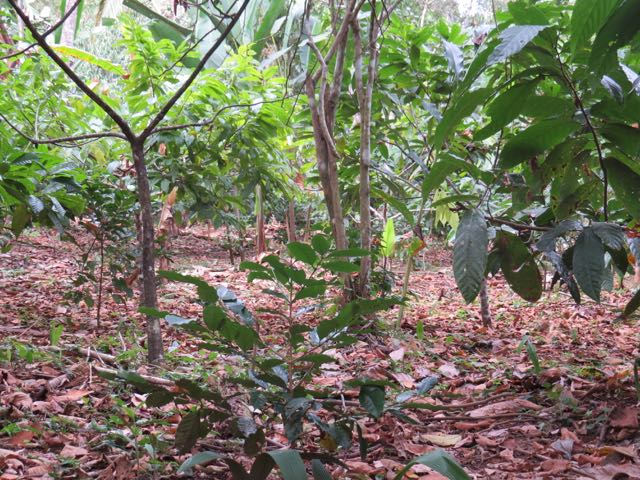 Cacao Under Canopy