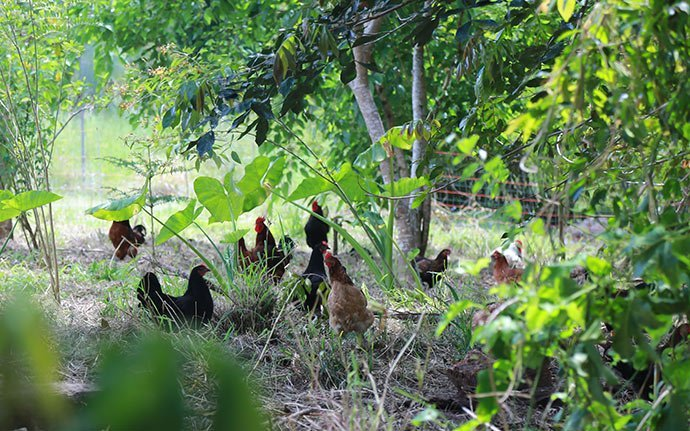 Chickens-in-Food-Forest
