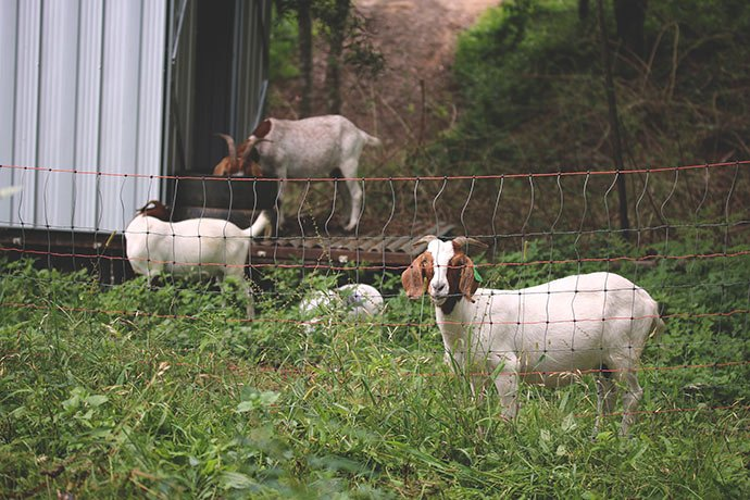 Goats-Permaculture-Animal-Systems