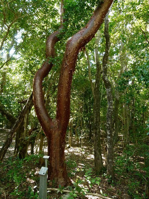 Gumbo-limbo (Courtesy of Barry Stock)