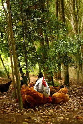 Permaculture-Chickens-in-Food-Forest