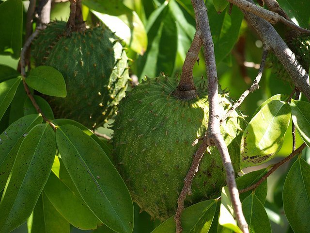Guanabana Tree (Courtesy of Rafal Prochniak)