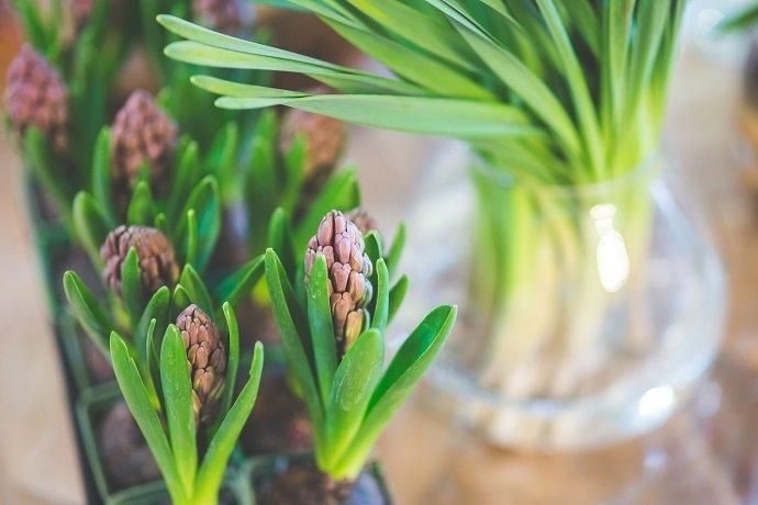 spring-flower-hyacinth