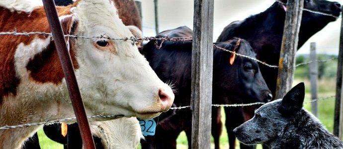 vet-cow