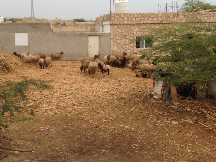 Sheep in their open compound.