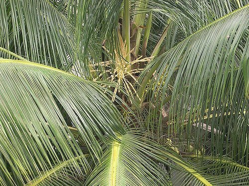 Coconuts Palm--Courtesy of Joe Zachs