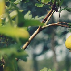Lemon-Food-Forest-Permaculture
