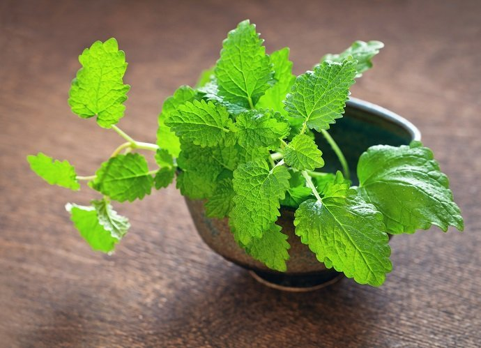 Magic in the Garden Five Plants with Medicinal Properties lemon balm