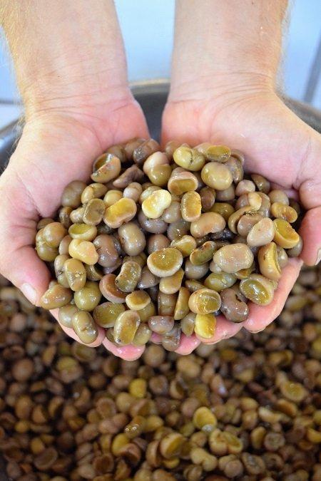 Maya Nut (Brosimum alicastrum)