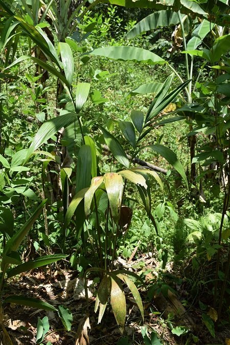 Olive Oil Palm (Oenocarpus bataua)