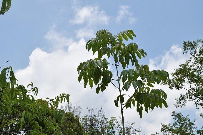 Pili Nut (Canarium ovatum)