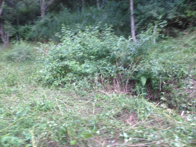 The lantana that nature wants to use to create forest however I would rather pasture.