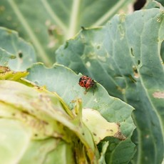 Cabbage with pests