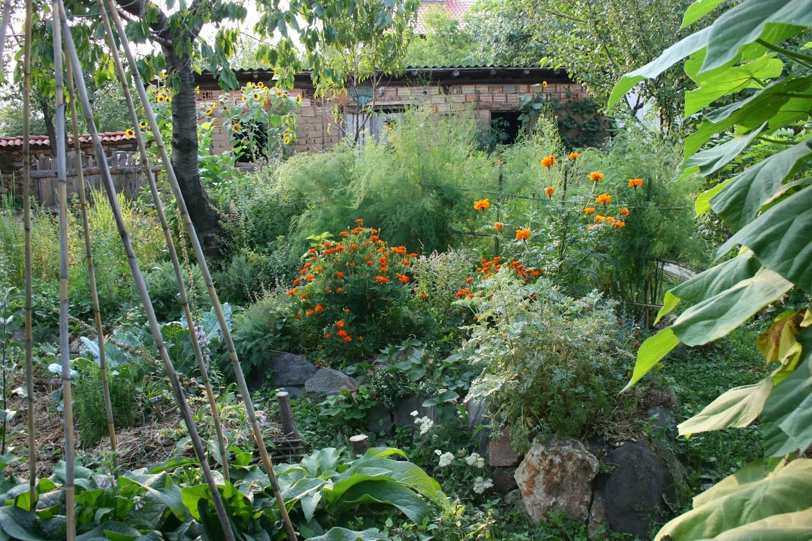 Chai Guild  - August 2013 with annual Tagetes patula and Terecta  added in the first season to fill space before the perennials grow.