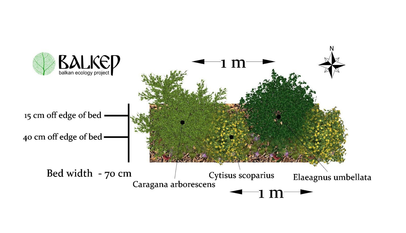 Illustration of Mature Nitrogen Fixing Hedgerow.