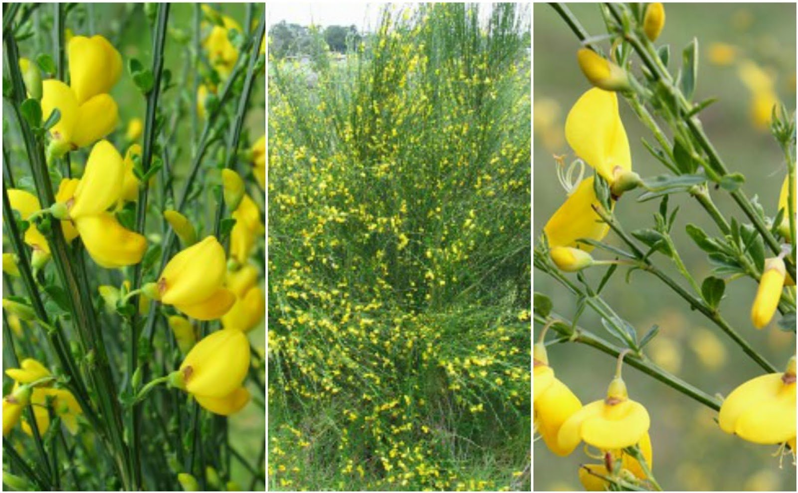 Nitrogen Fixing Shrub - Cytisus scoparius.