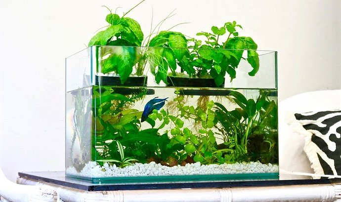 How to improve fish tank health with aquaponics systems for Fish and plants in aquaponics