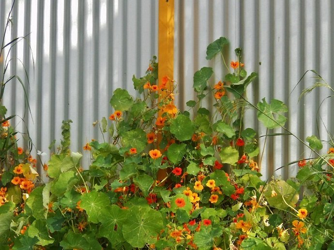 Nasturtium (Courtesy of Michael Coghlan)
