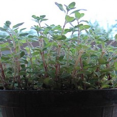 Oregano (Courtesy of cyclonbill)