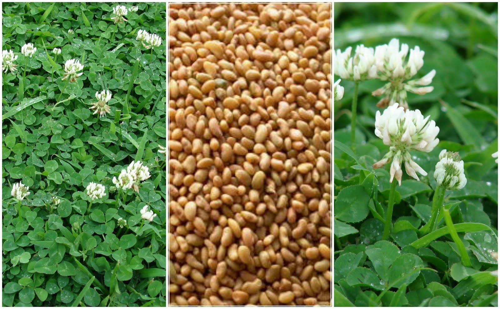 Plants for Pathways - Trifolium repens - White Clover.