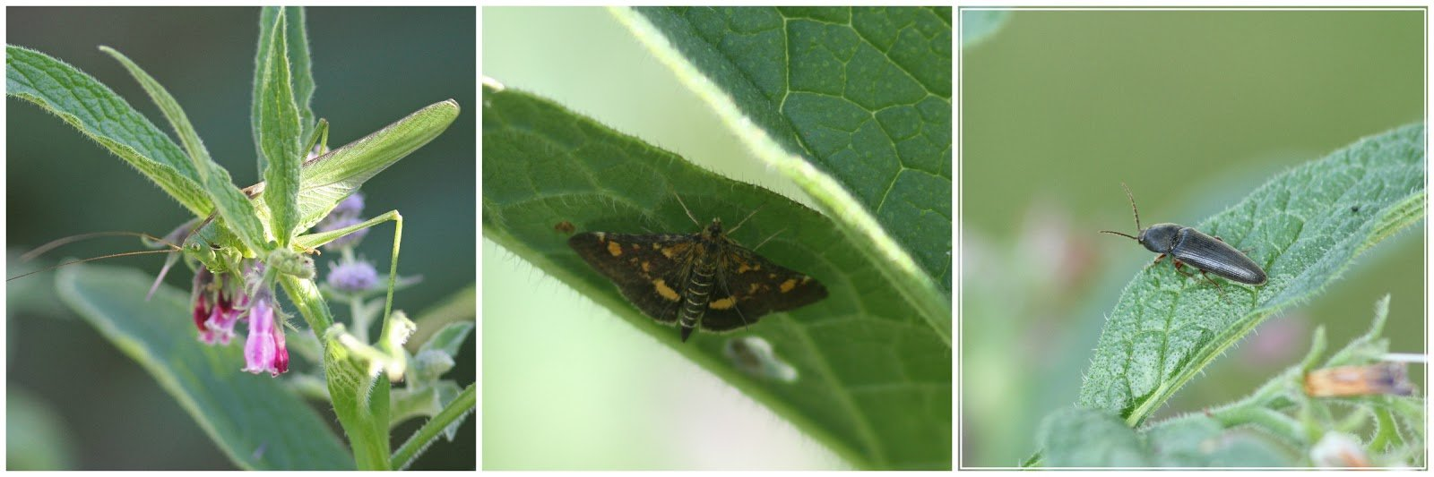 Photos of invertebrates on our Comfrey plants - by Peter Alfrey.