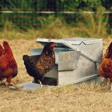 Cut Your Chickens Feed Bill by Fermenting feat