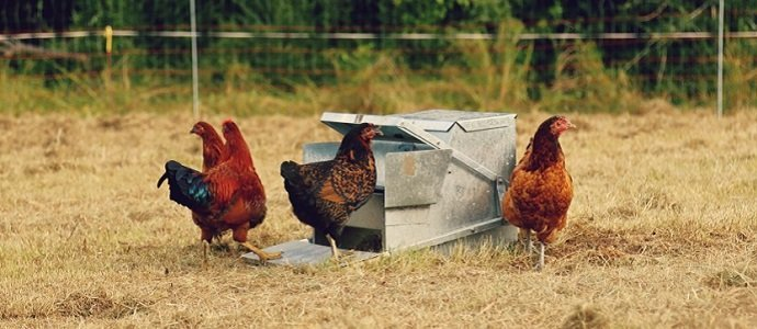 Cut Your Chickens Feed Bill By Fermenting The Permaculture