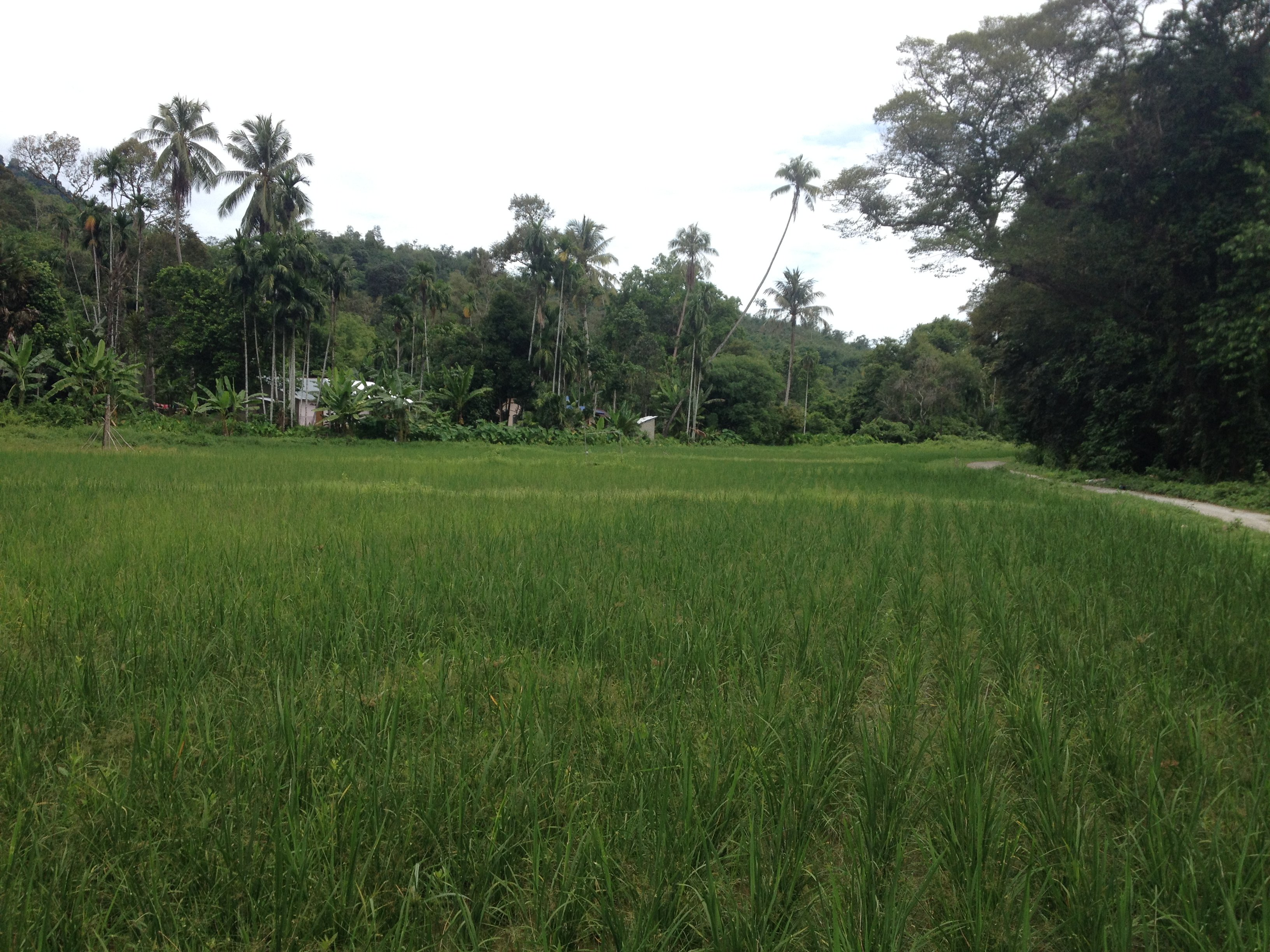 Organic Rice Paddies