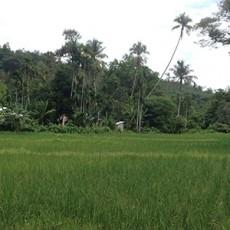 Organic-Rice-Paddies