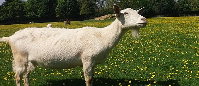Are Goats as Communicative with Humans as Dogs feature
