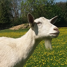 Are Goats as Communicative with Humans as Dogs?
