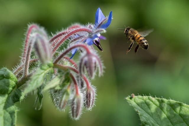 Borage (Agricology)