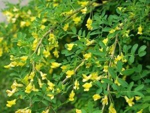 Caragana-arborescens
