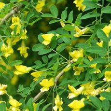 Caragana-arborescens-feature