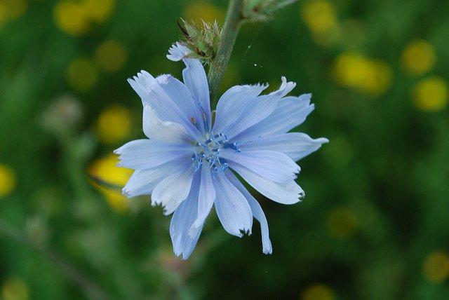 Chicory (Joshua Mayer)