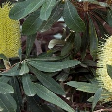 Coastal Banksia (photo courtesy of Rexness)