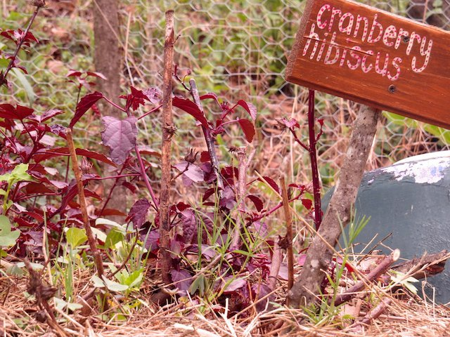 Cranberry Hibiscus (Image Courtesy - Emma Gallagher)