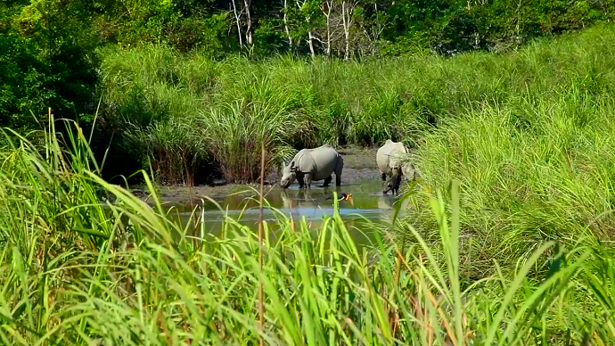 One horned Indian Rhinoceros in a swamp. Photo credit: Photo by William Douglas Mcmaster.