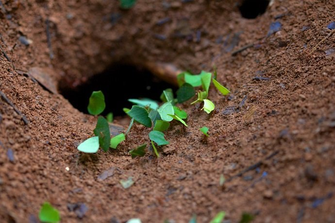 "Leaf-cutter ants transporting cut leaves to their subterranean nests. Christopher ""cricket"" Hynes, Source: Flickr"