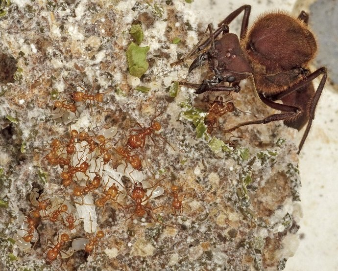 A fungus-farming ant colony is a complex society with division of labor among many size classes. In this close-up, tiny nurse ants tending to white ant larvae are dwarfed by the queen ant in the upper right. All the ants feed upon protein-rich food produced by a white-grey fungus that they cultivate underground. The fungus decomposes fresh, leafy greens brought underground by leafcutters, which can defoliate whole trees to feed the colony. Credit; Karolyn Darrow.