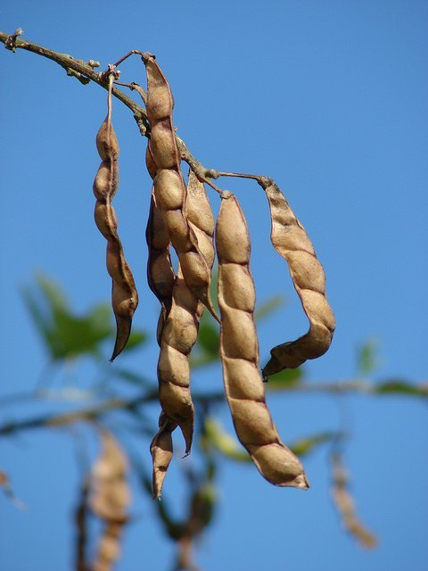 Pigeon Peas (Courtesy of Forest and Kim Starr)
