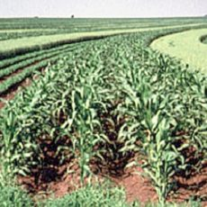 Strip Intercropping (Courtesy of Oregon State University)