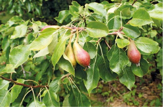 Just one of the 150 varieties of useful trees.