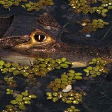 Caiman in Panama (Courtesy of Emma Gallagher