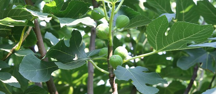 Fig-Fruit