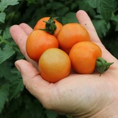Homegrown Cherry Tomatoes (Courtesy of  OakleyOriginals)