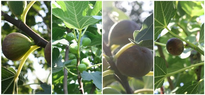 Permaculture-Figs