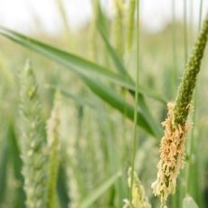 The Blackgrass Challenge in Britain feat