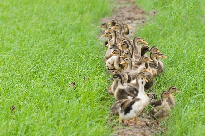 The Use of Ducks in Rice Fields in the Control of Weed and Pest 02